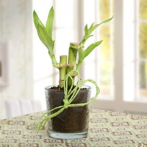 3 Lucky Bamboo Stick In Glass Vase